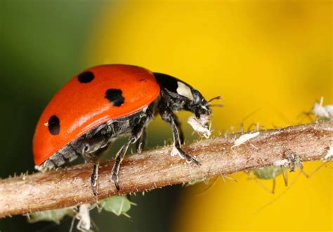 how to find ladybugs in your backyard beneficial insects for your backyard garden the allstate blog