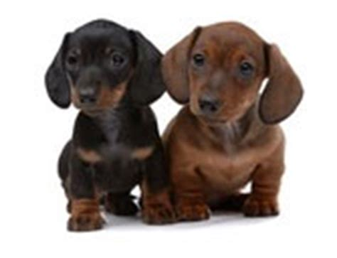 dotsons puppies dotson puppies small breed dogs