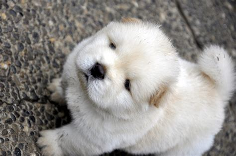 Chow Chow Puppy PicturesCorgi Puppy Pictures