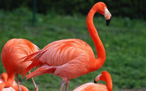flamingos birds wallpaper flamingo hd wallpapers