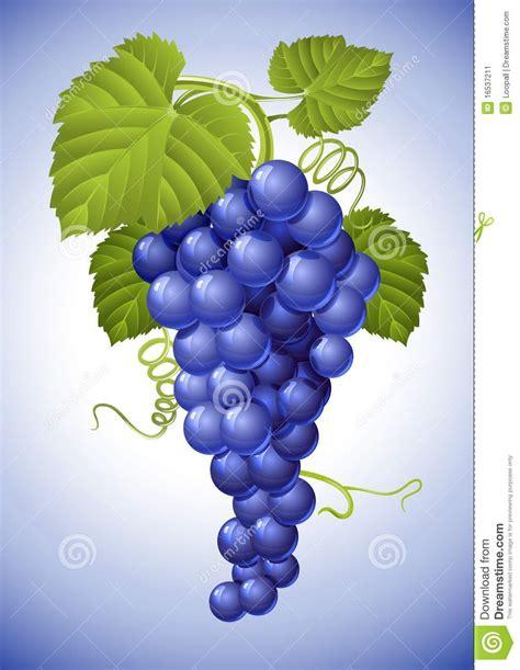 imagenes de uvas vector racimo de uva azul con las hojas verdes ilustraci 243 n del