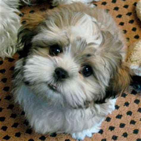 sheshan teddy bear puppies puppy that looks like a teddy bear