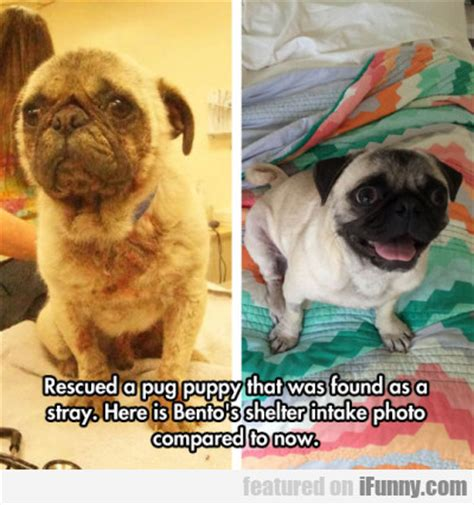 planet of the pugs the pug planet pug images health tips for pug pugs everything for
