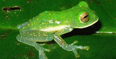 imagenes de ranitas verdes fotos de ranas verdes imagui