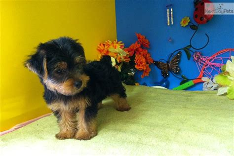 yorkie in labor terrier yorkie puppy for sale near chicago illinois 4f1de62a 93a1