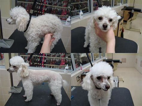 pictures of different poodle haircuts different styles of hair cuts for poodles toy poodle