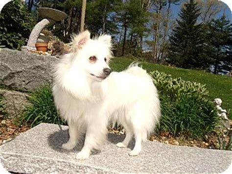 spitz and pomeranian mix pet not found