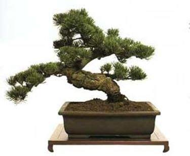 bonsai da fiore cura bonsai da fiore fare bonsai come funziona la cura