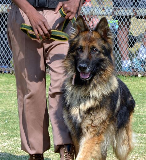 german commands list of basic and advanced commands for german shepherds