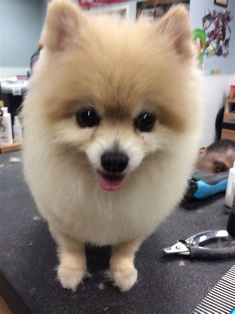 hair cut ideas for a pomeranian chihuahua mix 22 best pomeranian haircut images on pinterest