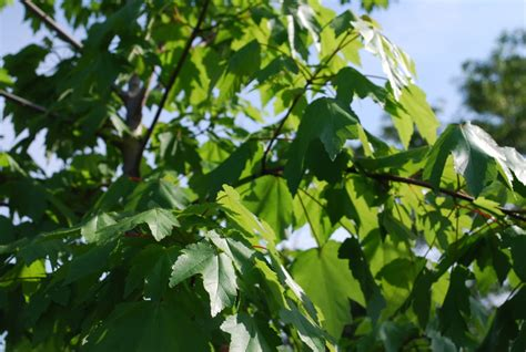 maple tree eat maple leaves pet poison