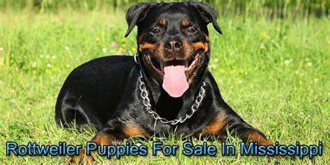 rottweiler puppies for sale in ms rottweilers for sale in mississippi