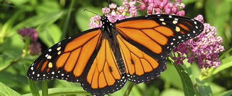 butterflies among us a story about and perspective books the ultimate relay race the monarch butterfly story
