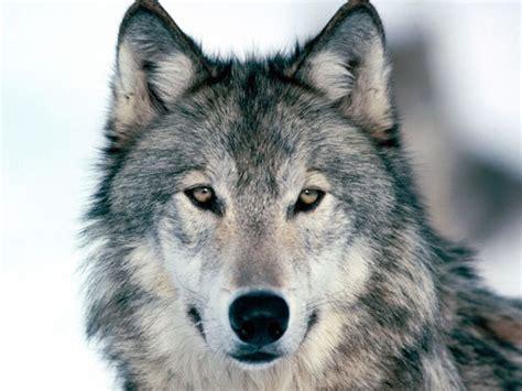 google images wolf photography wolf wolves image 339333 on favim com