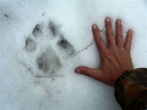 mountain lions foxes  bears  mytracking