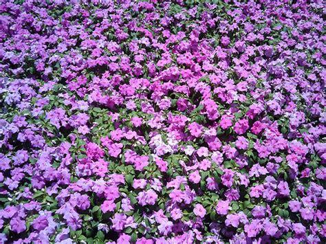 imagenes de rosas moradas y azules flores moradas jervert flickr