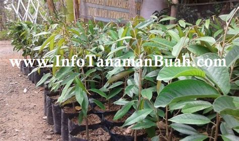 Jual Bibit Durian Merah jual bibit durian merah info tanaman buah