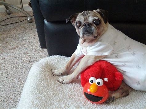 indiana pug rescue 17 best images about pug dogs on pug baby pugs and pug
