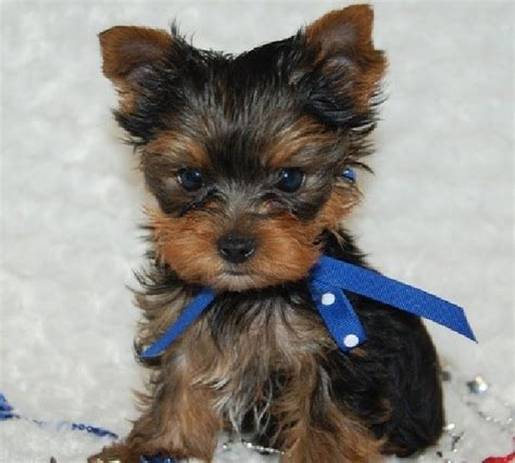 Teddy Bear Cut For Teacup Yorkie | teddy bear yorkie haircut teacup yorkie puppies