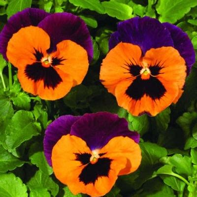 Shade Of Black by Purple And Orange Pansies Pansy Seeds Cool Weather