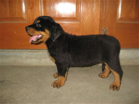 2 month rottweiler rottweiler puppies 2 months www pixshark images galleries with a bite
