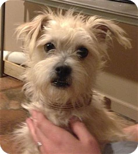 terrier mix puppies for adoption lenny adopted manchester ct poodle miniature cairn terrier mix
