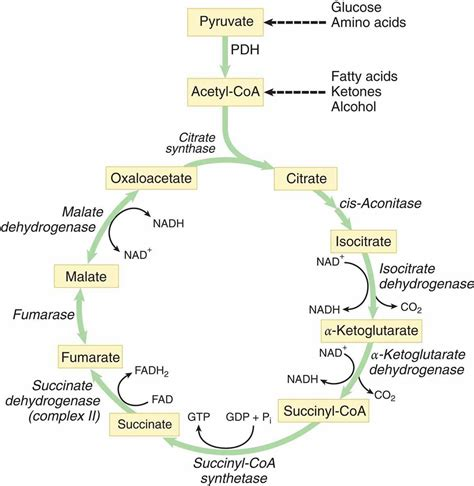 carbohydrates mcat reactions of the citric acid cycle carbohydrate