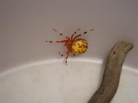 spider with yellow pattern on back uk spider with orange body with yellow back and markings