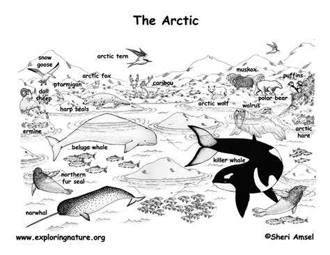 Arctic Animals Labeled Coloring Nature Earth Arctic Coloring Page