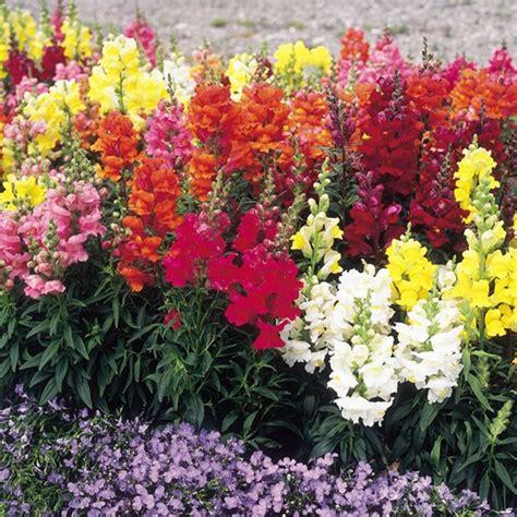 Bibit Benih Seed Flower Snapdragon Mix Antirrhinum Majus snapdragon our plants kaw valley greenhouses