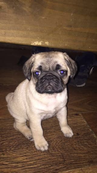 pug norwich chunky pug puppy s norwich norfolk pets4homes