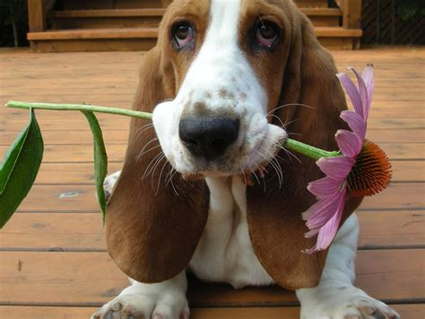 basset hound puppies pet talk in illinois breed focus basset hound