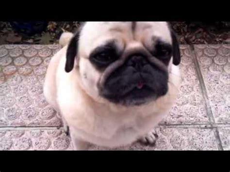 sneezing pug dobby the sneezing pug