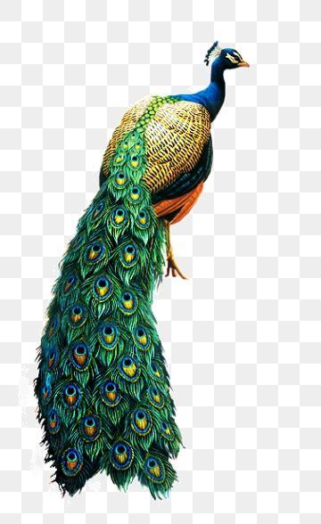 peacock png vector psd  clipart  transparent