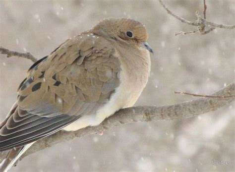 best 28 mourning dove mate for 2554 best images about