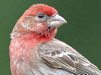 what does a house finch eat birdnote house finch vpr archive