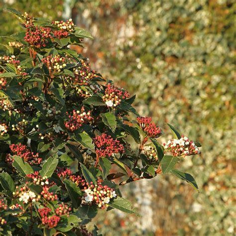 Laurier Tin by Laurier Tin Quimper Plantes Et Jardins