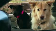 subaru golden retriever commercials 1000 images about subaru commercials on subaru commercial and subaru