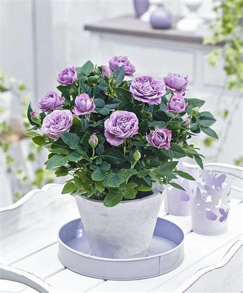 cura roselline in vaso acquista rosellina in vaso parade 174 lamy bakker
