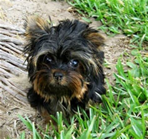 yorkie breeders ma 17 best ideas about yorkie on yorkie puppies yorkie and yorkie haircuts