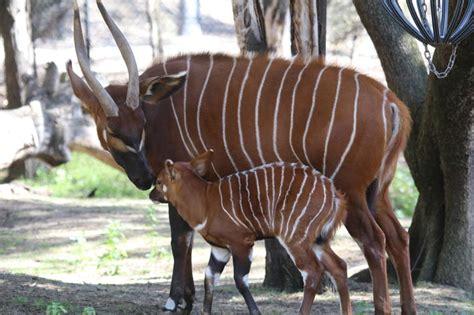 rare bongo calf born  dubbo zoo taronga conservation