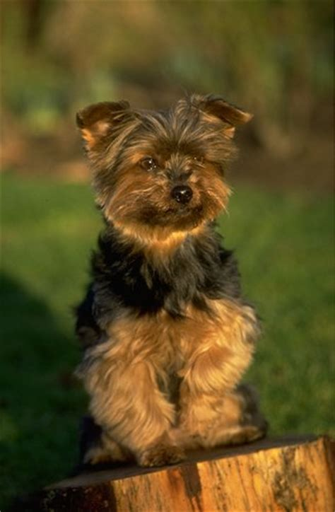 yorkie average size how big are a teacup silky terrier breeds picture