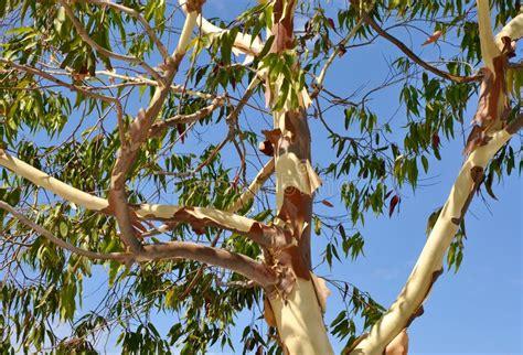 Review Bliss Eucalyptus Smoother by Peeling Eucalyptus Tree Stock Photo Image Of Peeling