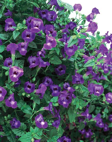 Wave And Flower summer wave 174 large violet wishbone flower torenia hybrid proven winners