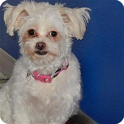 shih tzu denver cloud adopted 25316438 denver co maltese shih tzu mix