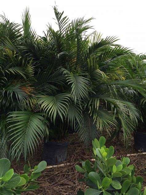 cateracterum palm o b nursery brokers inc plantant com