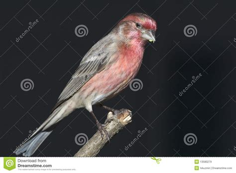 mexican house finch for sale mexican house finch for sale 28 images house finch 28