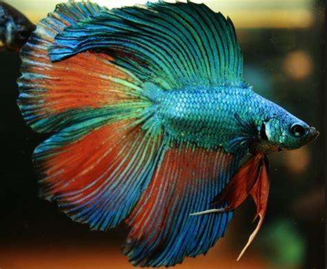 Makan Ikan Cupang Pelet cara praktis dan jitu budidaya ikan cupang yang