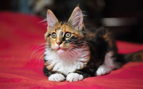 Maine Coon Cats Images