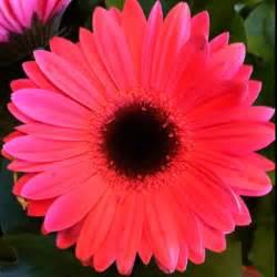 Gerber Daisies by Gerber Daisy Garden Loves Pinterest